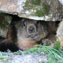 Marmotte dans son trou