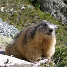 Marmotte de la Clarée