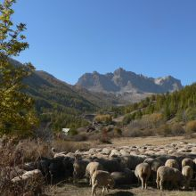 Moutons Automne