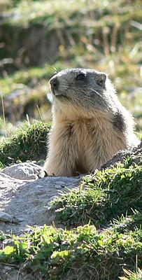 Marmotton Clarée
