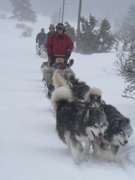 Leading a dog sled team